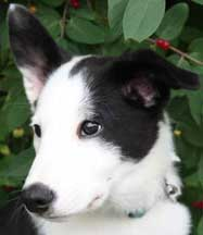 Tipped Ears Dogs Border Collie