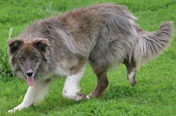 Australian Shepherd Puppies For Sale Mini Puppies For