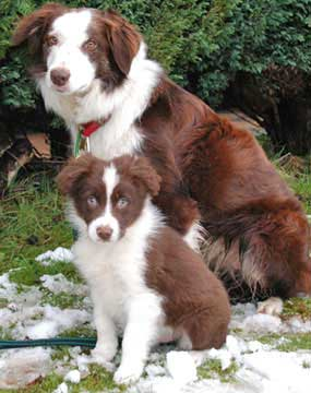Bc Museum Red Border Collies