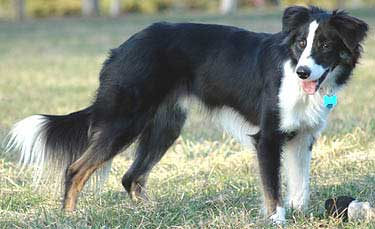 Bc Museum Tricolored Border Collies